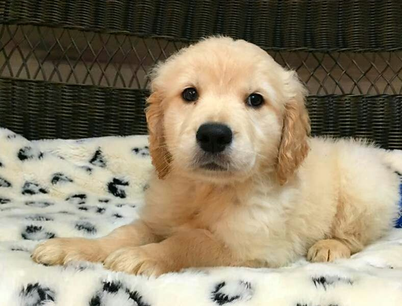 Male & Female Golden retriever puppies for adoption