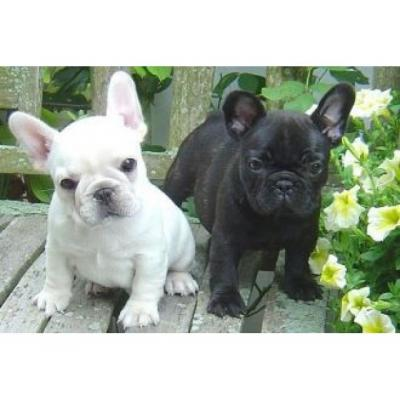 Blue & blue and white French bulldog puppies