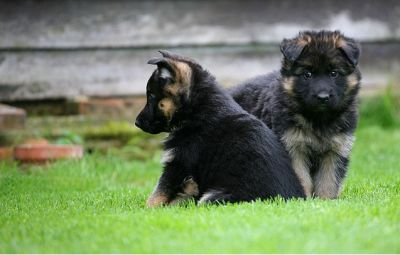 large bones german shepherd puppies for sale(male and female)