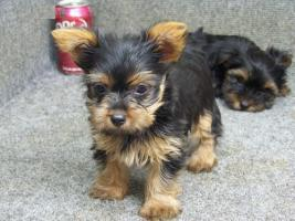 Xmas Charming 12 weeks Yorkie Puppies Text us at (213)444-6128