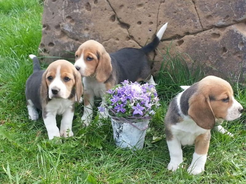 Great Beagle puppies