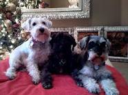 Beautiful Male and Female Miniature Schnauzer Puppies Available