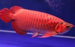 Healthy Super Asian Red Arowana Fishes