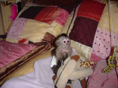 Male and Female baby monkeys for sale
