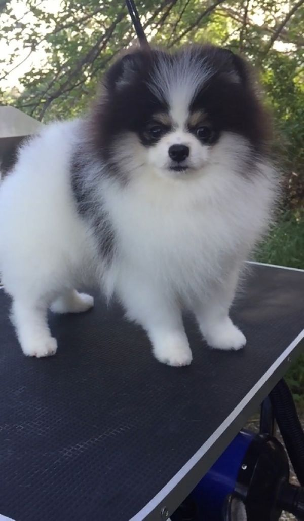 Two Teacup Pomeranian Puppies Needs a New Family
