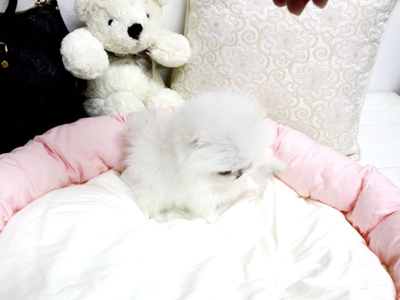 // Very Small Size Pure Bred Pomeranian puppies/