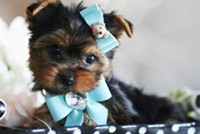 sweet and precious male and female yorkie puppies