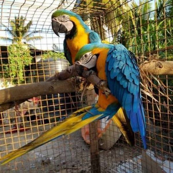 Blue and Gold Macaw parrots ready