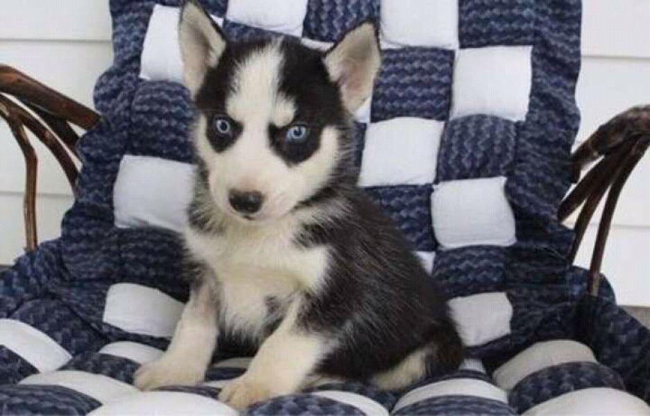 Cutest blues eyes siberian husky for adoption into good homes