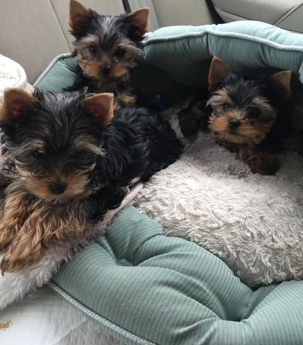 Manual Trucks For Sale >> Your Male/Female Yorkie Puppies For Sale