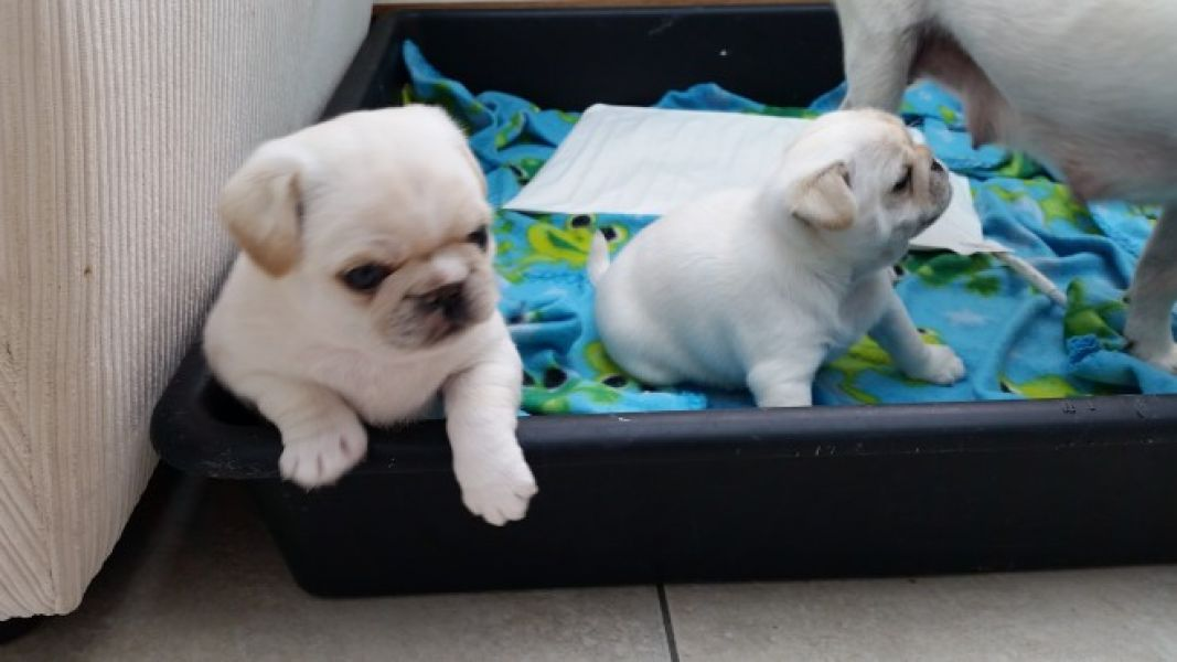 Adorable male and female english Bull Dog Puppies for Adoption