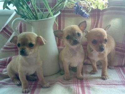adorable chihuahua puppies ready to go now