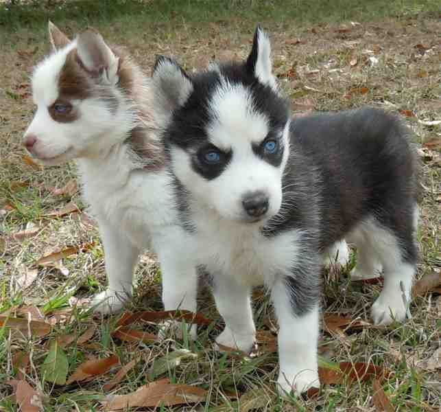 Sweet Siberian Husky Puppies Text Me At (215) 526-5512