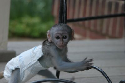 Cute and adorable capuchin baby monkeys for adoption