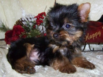 Outstanding Male and Female Yorkie Puppies For X-Mas