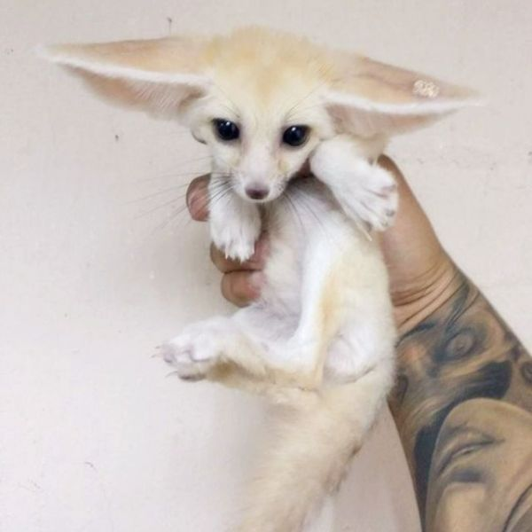 Healthy male and female fennec fox baies