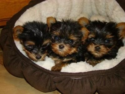 tea cup yorkie puppies for free adoption...