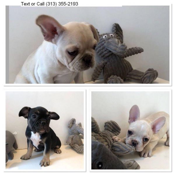Super French Bulldog puppies