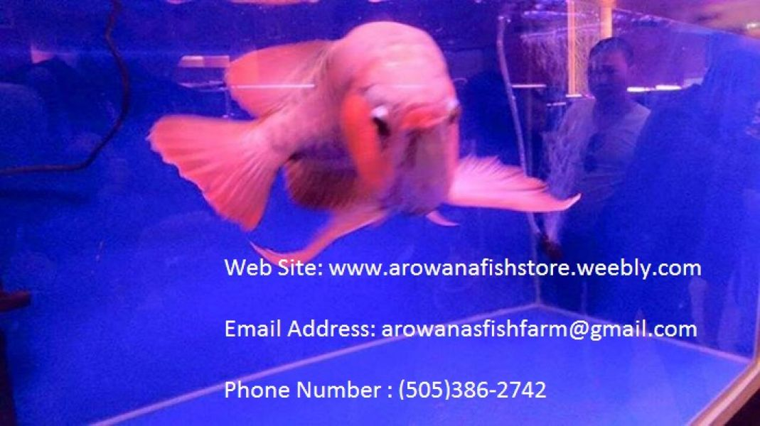 Healthy Arowana and freshwater stingray fishes for sale