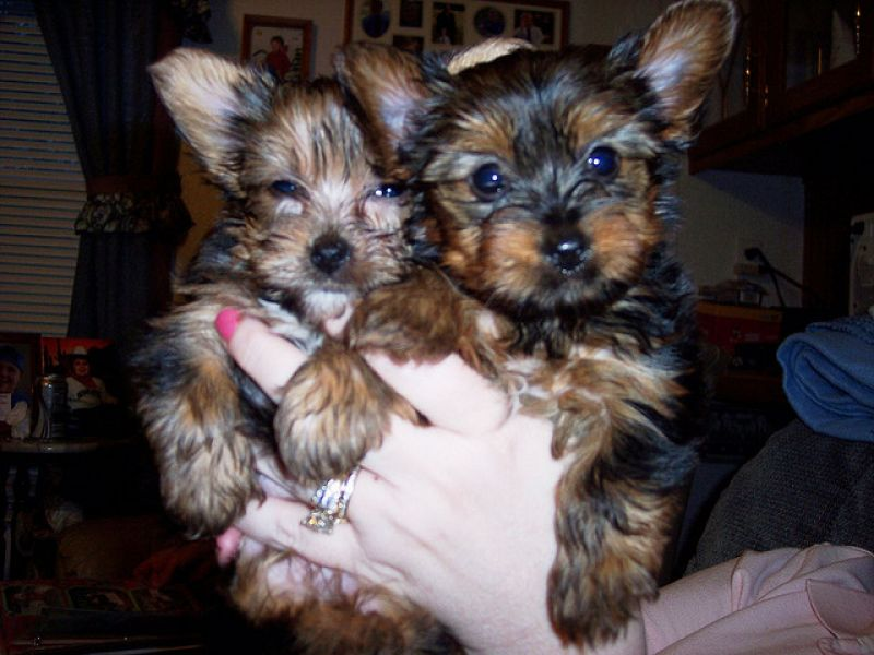 Gorgeous Quality Teacup Yorkies Puppies.