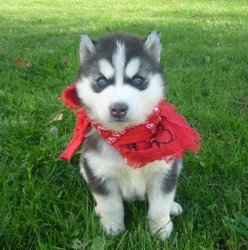 Affectionate Siberian Husky Puppies For Adoption