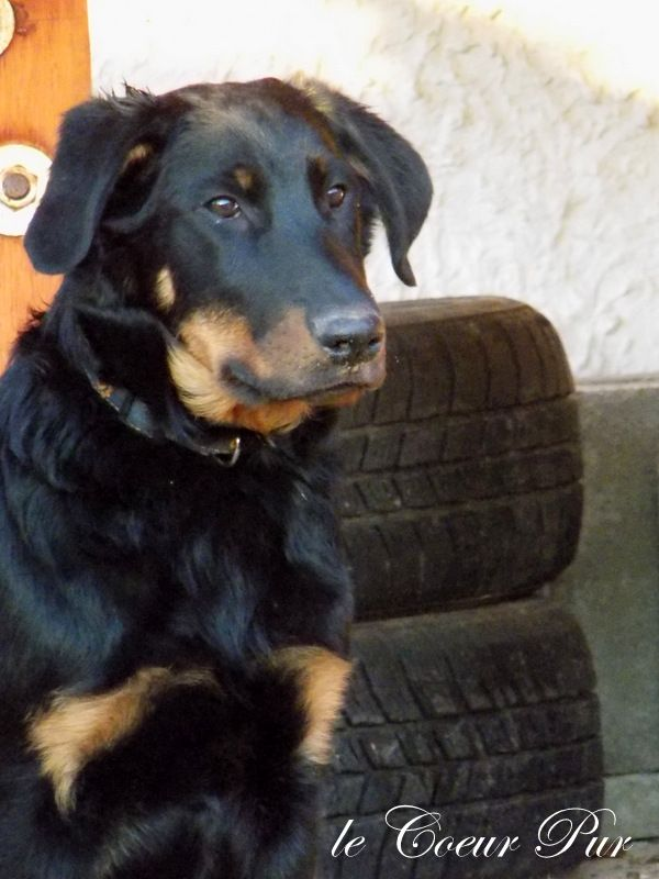 Beauceron puppy for sale