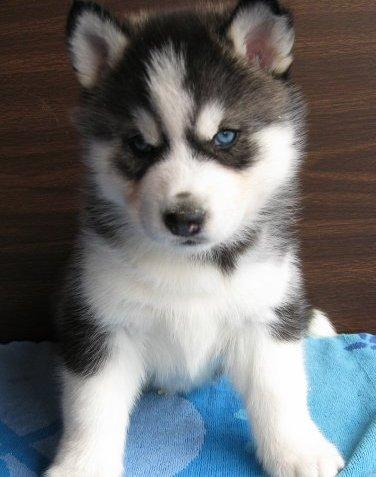 Siberian Husky Puppies on Adoption.