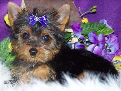 Teacup Yorkie Puppies For R-Homing