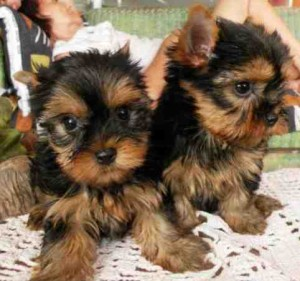 Amazing Yorkie puppies for Adoption