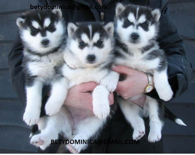 Lovely Siberian Husky Puppies