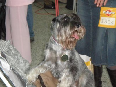 Standard Schnauzer (Medium) pepper and salt with pedigree