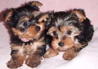 Adorable yorkie puppies for adorption
