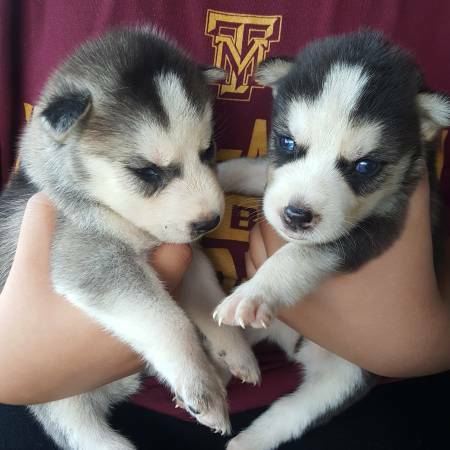 11 weeks old female and male Siberian husky puppies for adoption