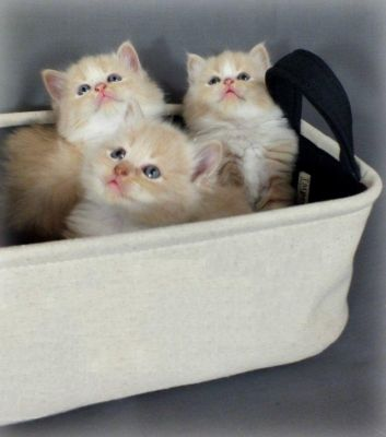 Gorgeous Fluffy Cream Ragdoll/Persian Kittens.