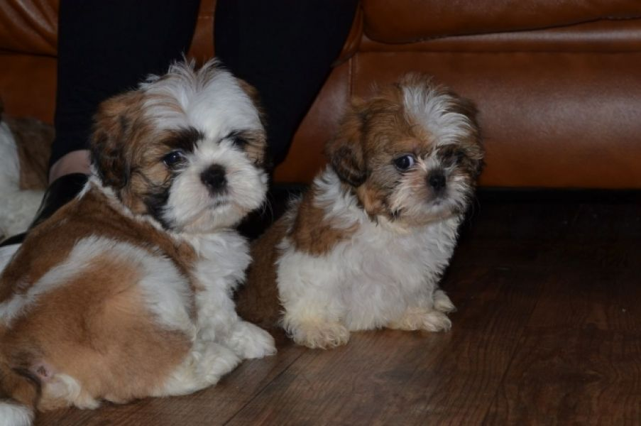Male and female Shih Tzu puppies available for adoption.