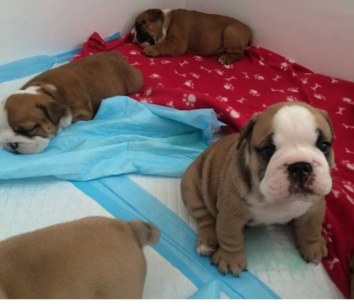 lovely bulldog puppies for rehoming text at 302-308-4193