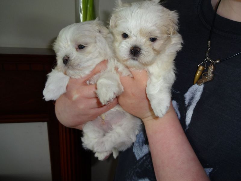 Quality registered Maltese puppies for adoption