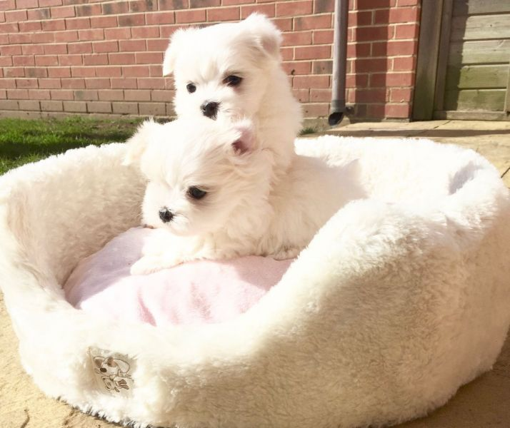 Playful Maltese puppies for sale into a lovely home