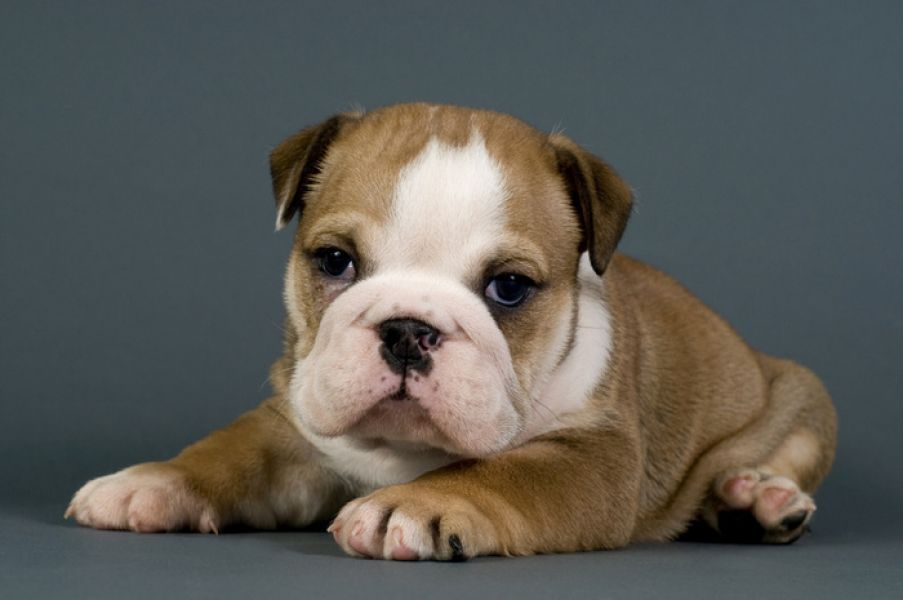 Two Cute English Bulldog Puppies for Free Adoption