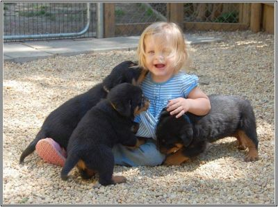 Outstanding Rotweiller puppies for sale