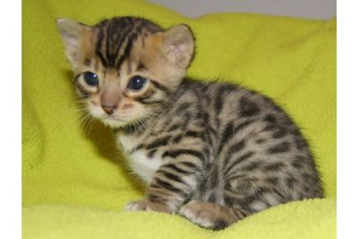 Bengal Kittens, TICA registered.