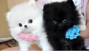 Cute black and  white Pomeranian puppies available for a new homes.Call or Text (503) 506-7433
