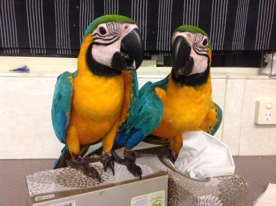Male and female Blue and Gold Macaw parrots ready