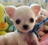 Toy Breed Chihuahua Puppies for Free Adoption