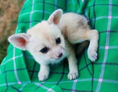 Well Tamed Cheetah cubs, Tiger Cubs and Fennec Fox For Sale