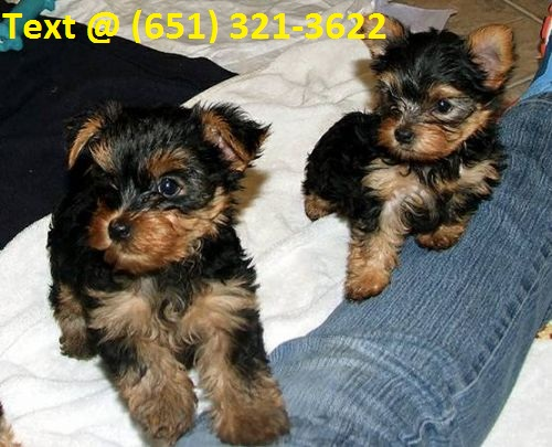 AKC Registered Teacup yorkie puppies for sale