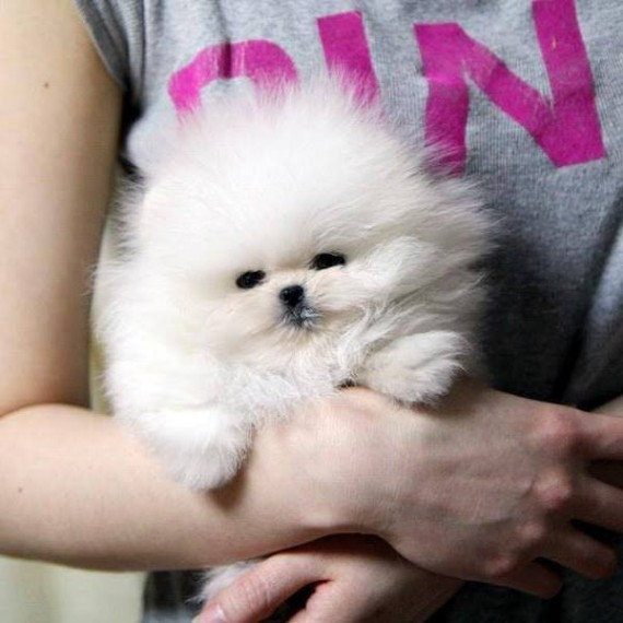 Amazing Pomeranian Puppies on sale  Contact (404) 448-2772