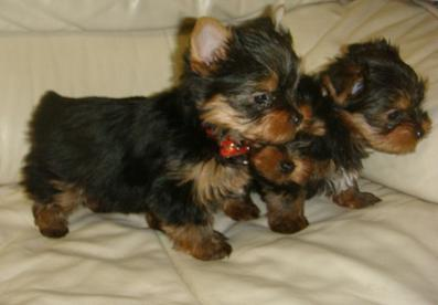 Yorkie doll puppies for free adoption in USA and World Wide...