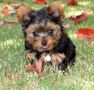 Fantastic Pure Breed T-Cup Yorkie Puppies .