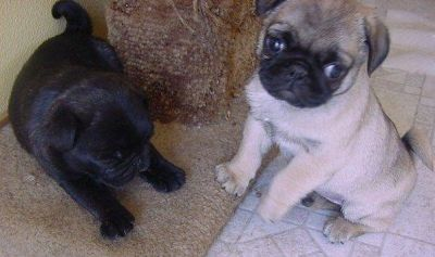 Black and Fawn Pug puppies 4 Good homes